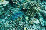 Giant clam (Tridacna gigas)at the tropical coral reef poster