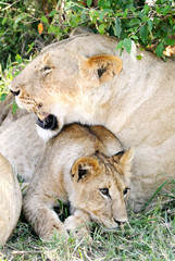 A lion cub with his mother