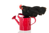 Black chicken on pink watering can