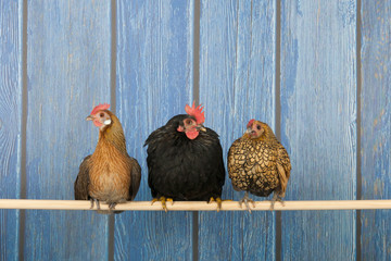 Chickens in henhouse
