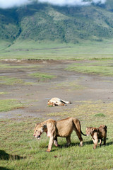 African predators in Ngorongoro National Park, lioness and lion