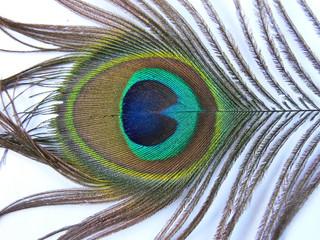 penna di coda di pavone