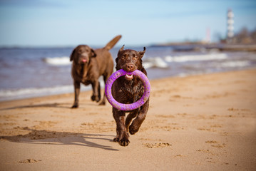 happy labrador dog playing at the sea