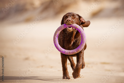 brown labrador dog carrying a toy