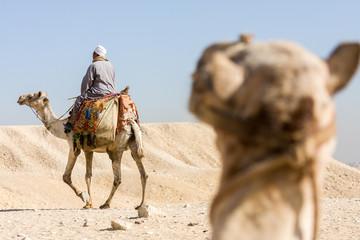 Egyptian Camels in the desert