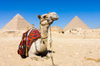 Leinwanddruck Bild - Camel with Pyramids in background
