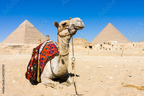 Leinwanddruck Bild Camel with Pyramids in background