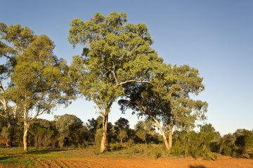 Large eucalyptus trees