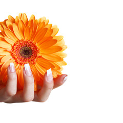 Hand mit Gerbera