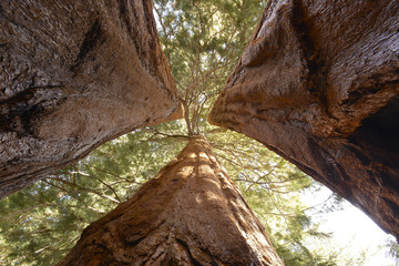 giant sequoia trees, sequoia national park, california, united s