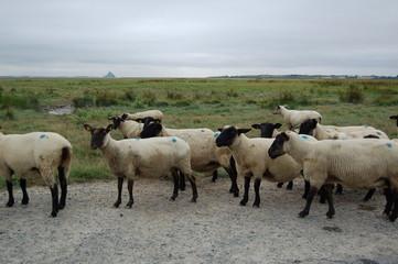 mouton de pré salé