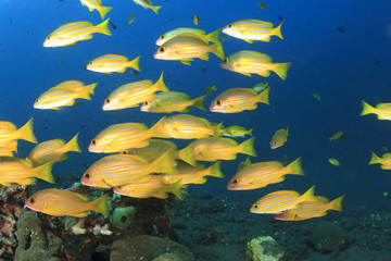 School of Bluelined Snapper Fish