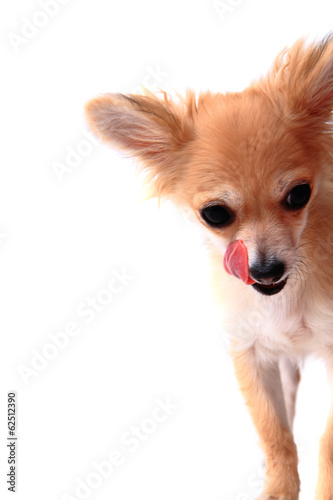 detail of chihuahua and her tongue