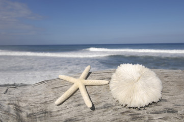 starfish and Sea shell on rotten driftwood at sky the beach