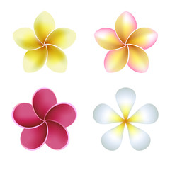 Frangipani (plumeria) flowers on white. Vector illustration