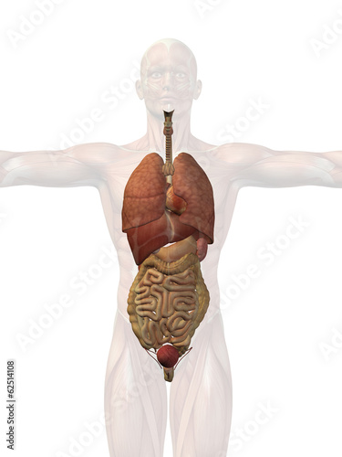 Human anatomy body organs