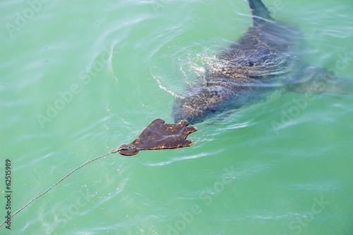 A Great White Shark Stalking a Wooden Seal Decoy in the Ocean