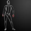 3d render skeletal hand - front view