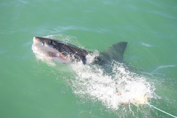 A Great White Shark Attacking a Decoy and Bait in the Ocean
