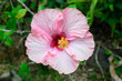 Pink hibiscus flower yellow stamens bloom beautifully