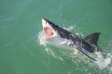 A Great White Shark breaching the water with its mouth open