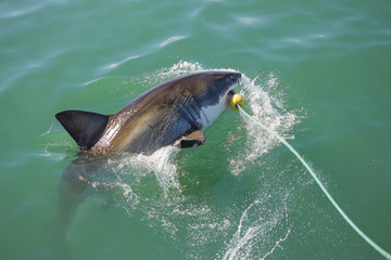 A Great White Shark biting a decoy and bait in the ocean
