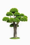 big bonsai tree isolated on white