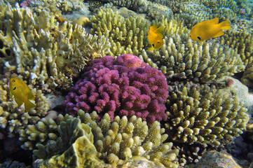 Hard coral and Sulfur damsel