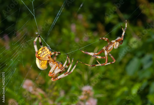 Flirtation of spiders 1