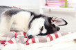 Beautiful cute husky puppy in room