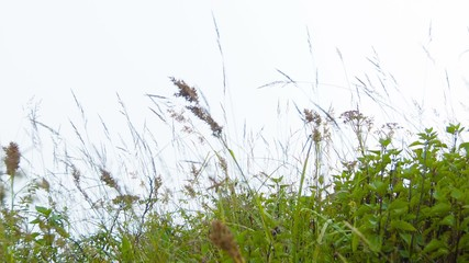 Meadow grass sway in the wind. Highland slope