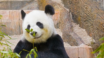 Panda eats bamboo leaves