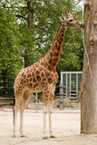 Giraffe in the ZOO