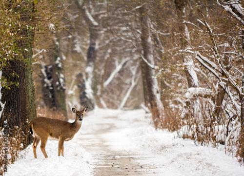 Foto op Canvas Hert White Tailed Deer
