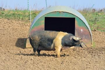 Large free range pig