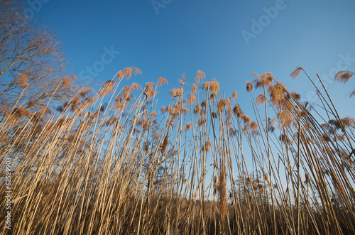 Reeds against the blue sky