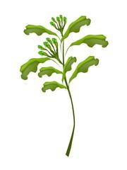 A Fresh Clove Plant on White Background