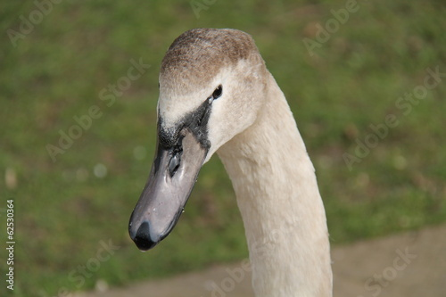 The Head and Neck of a Young Mute Swan.
