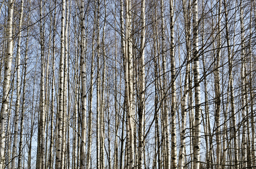 trunks of birch trees in spring forest