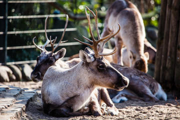 Beautiful Red Deer in National Park.