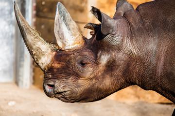 Black rhino head over blurred background.