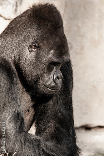Face portrait of a gorilla male