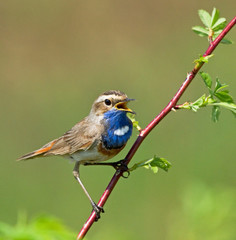 Singing Bluethroat on the branch