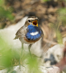 Singing Bluethroat on the stone