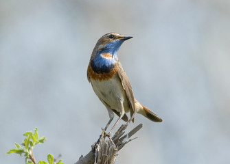Bluethroat sitting on dry branch