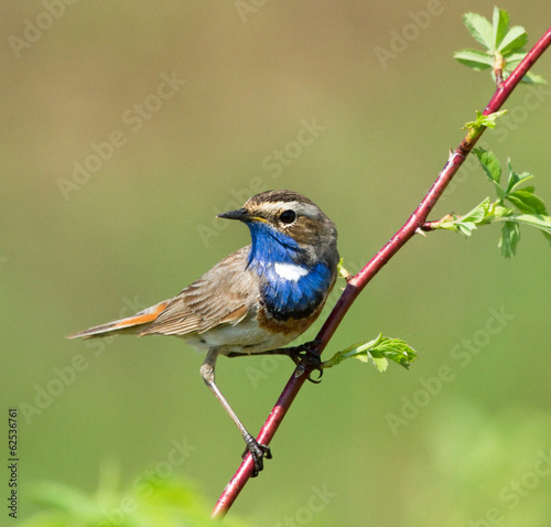 Bluethroat on the branch