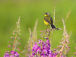 Singing Yellow Wagtail on the Fireweed flower