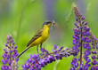Western Yellow Wagtail on lupine flower