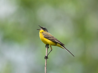 Yellow Wagtail singing on the branch