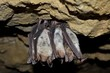 Groups of sleeping bats in cave (Myotis blythii)